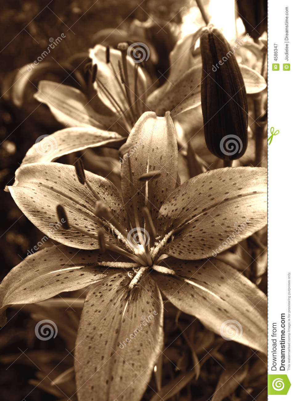 Tiger Lily Flower Stock Image Image Of Paradise Love 4586347