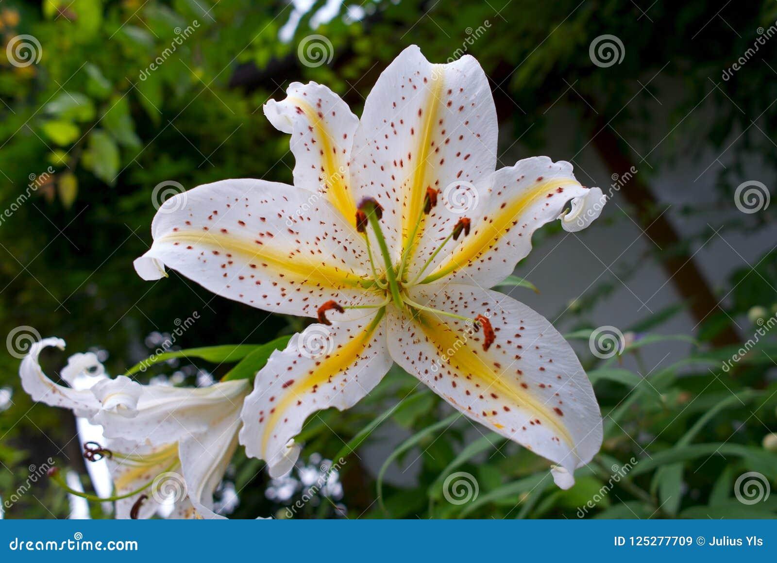 Tiger Lily Flower In Japan Stock Illustration Illustration Of