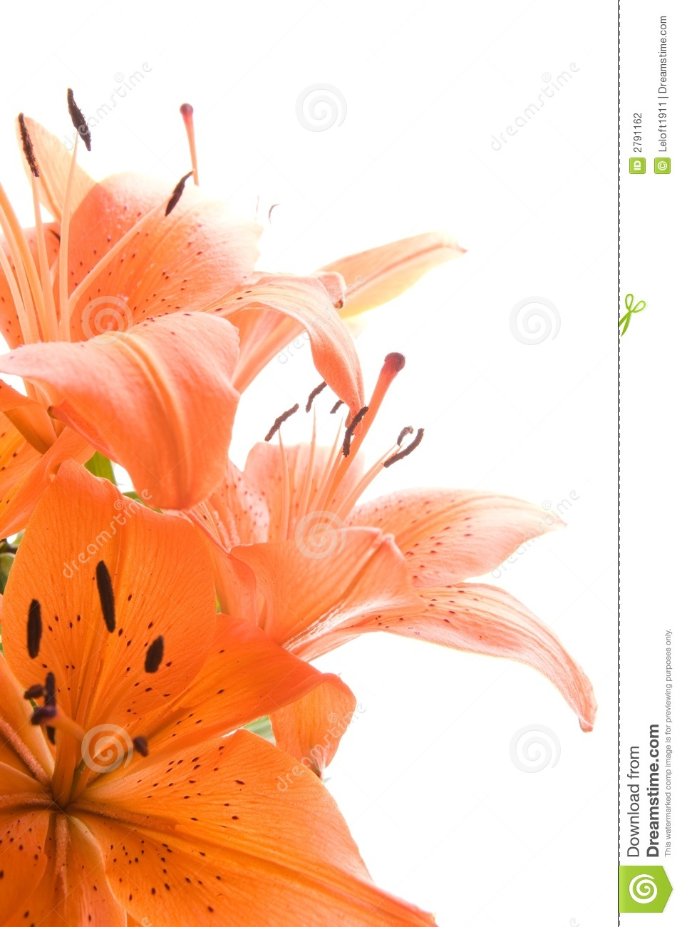 Tiger lily flowers stock photo image of leaves variegated 2791162 tiger lily flowers izmirmasajfo