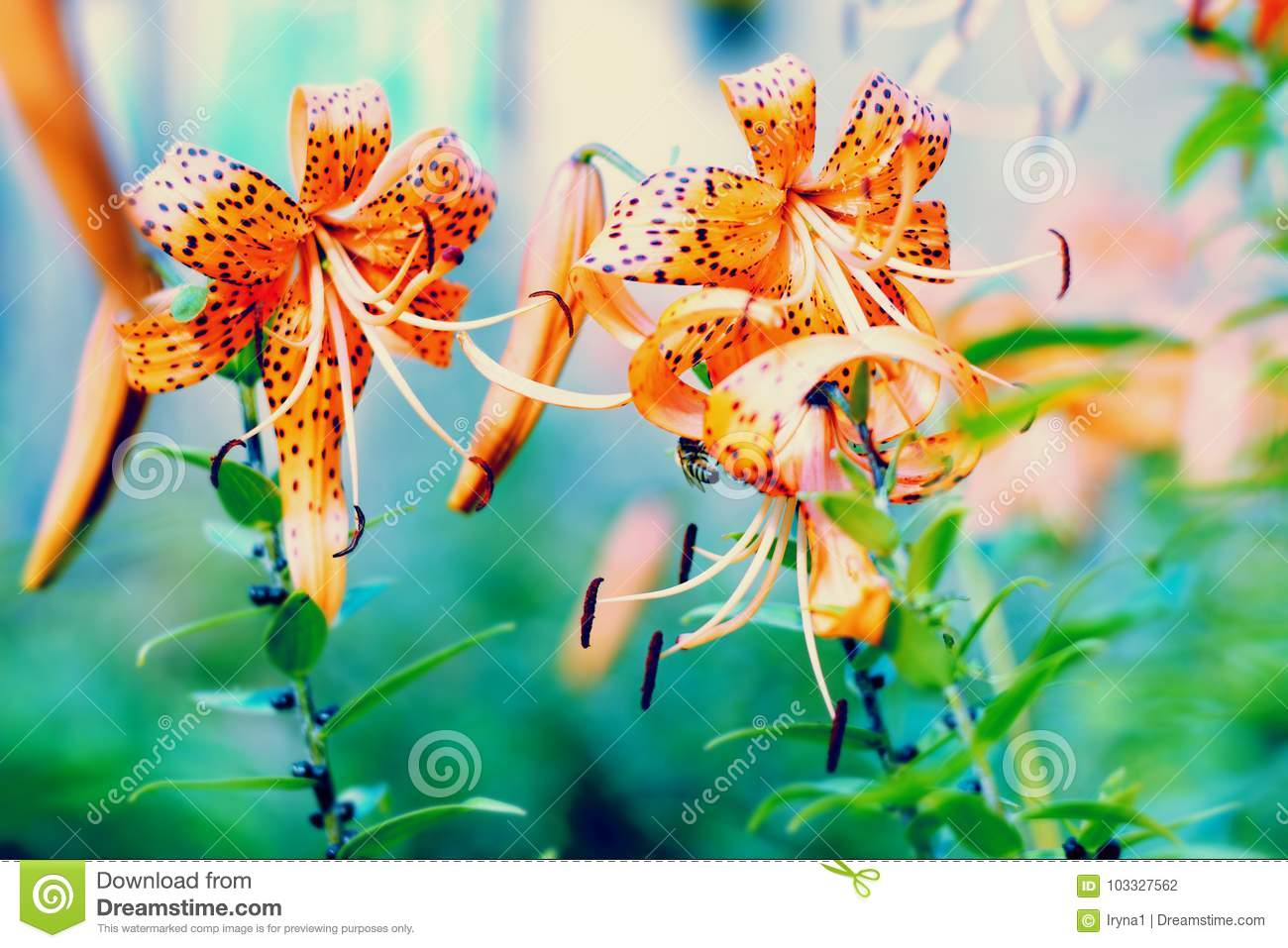Tiger lily flowers blossoming stock photo image of plant beauty tiger lily flowers blossoming izmirmasajfo
