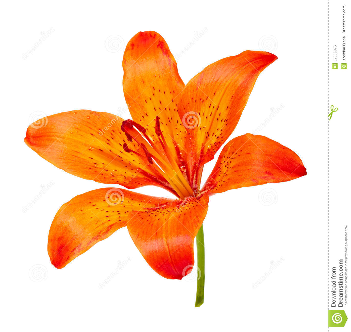 Tiger lily stock image image of beauty closeup celebration 32365875 tiger lily izmirmasajfo Images