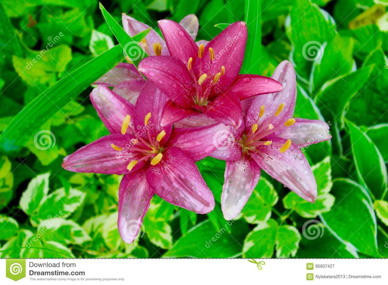 Tiger Lily Stock Image Image Of Water Petals Flowers 95837427