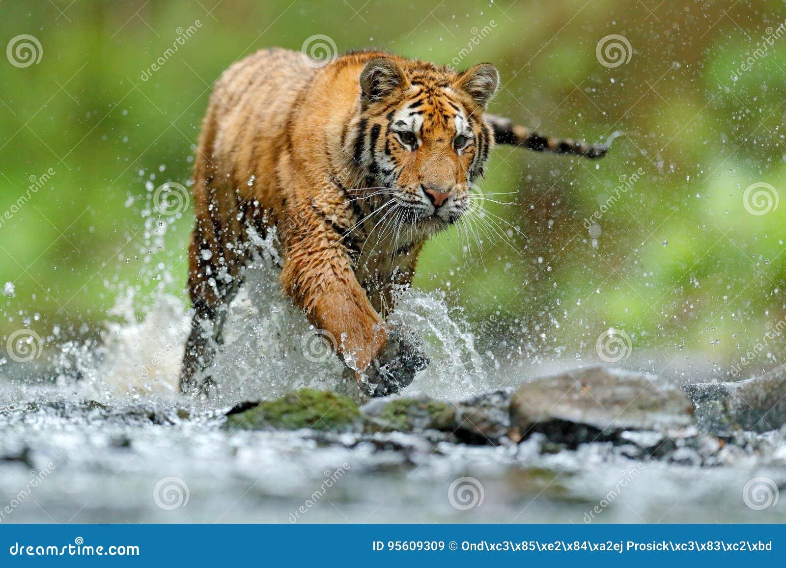Tiger med färgstänkflodvatten Plats för tigerhandlingdjurliv, lös katt, naturlivsmiljö running tigervatten Faradjur, tajga