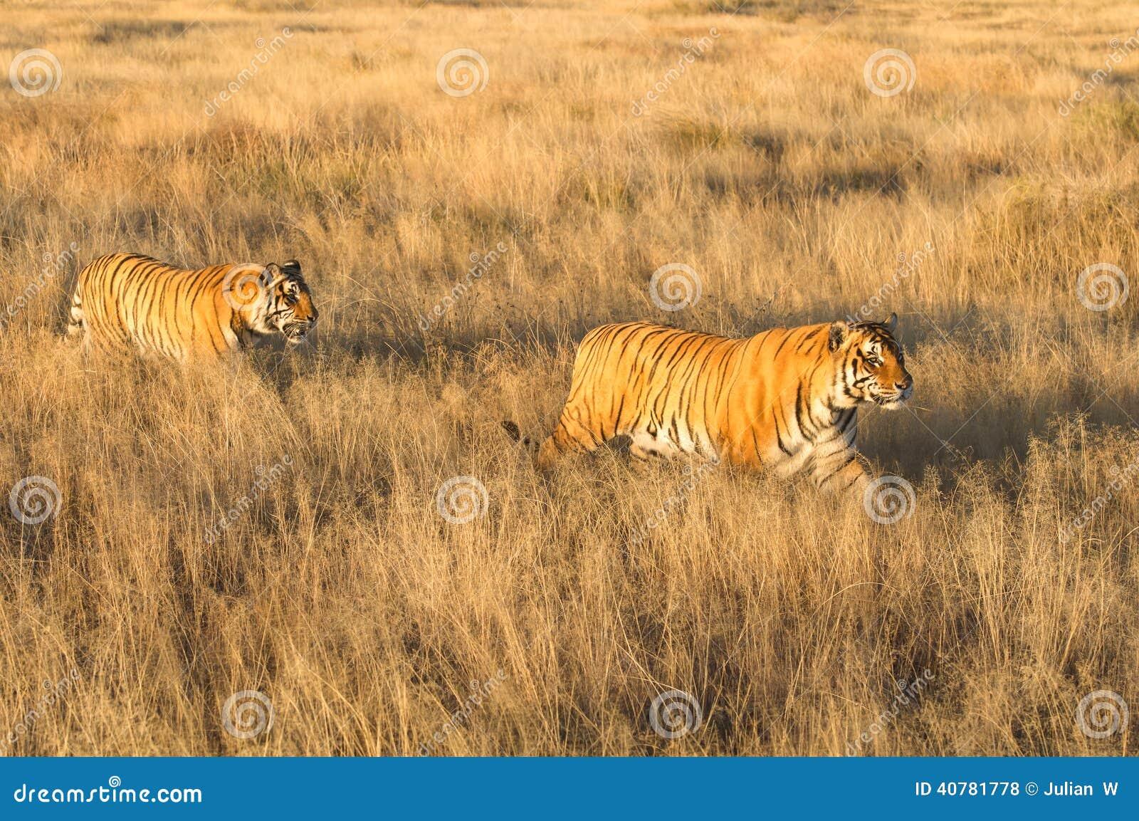 Tiger med hennes gröngöling