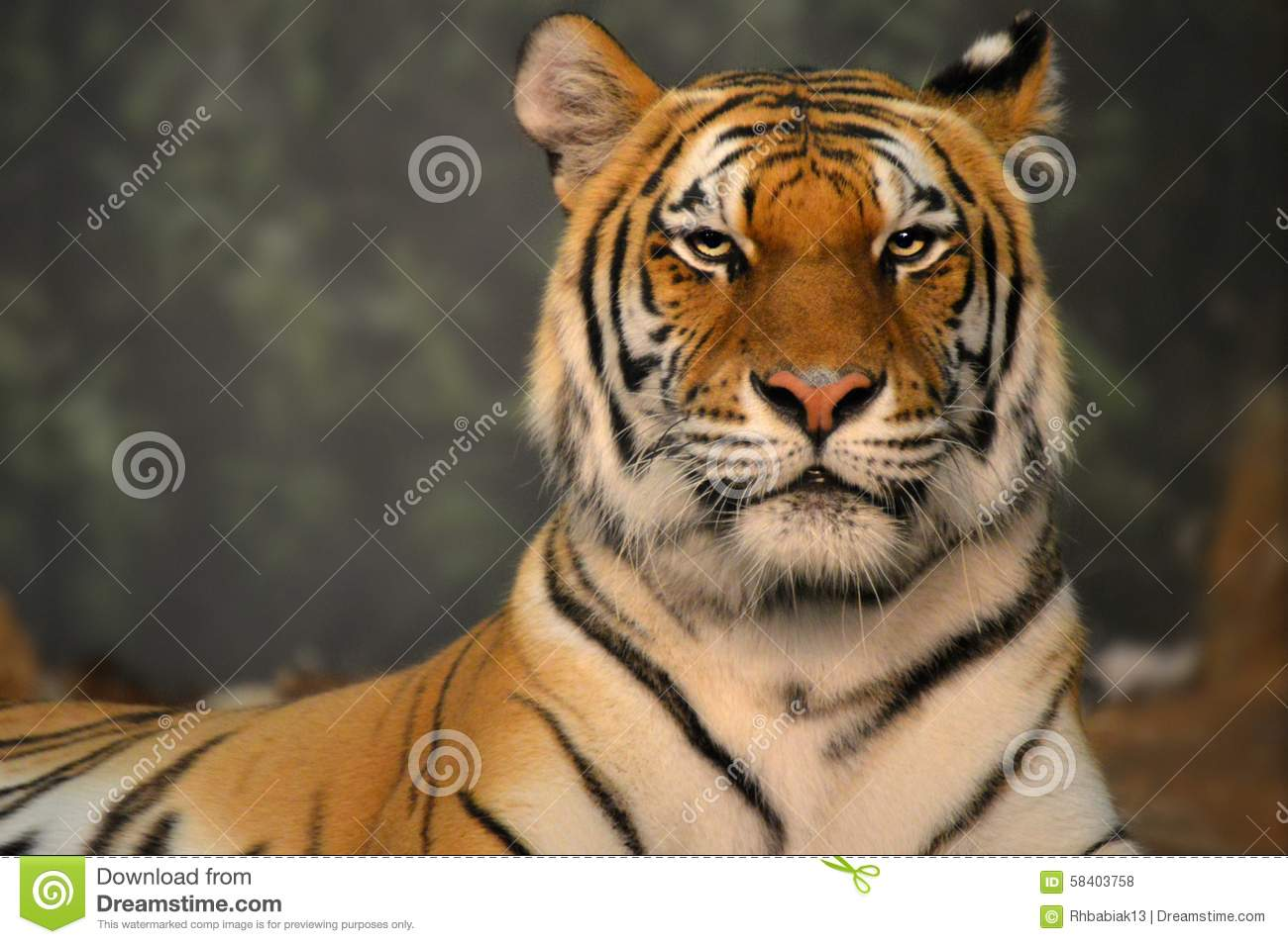 Download Tiger stock photo. Image of milwaukee, stare, mammal - 58403758