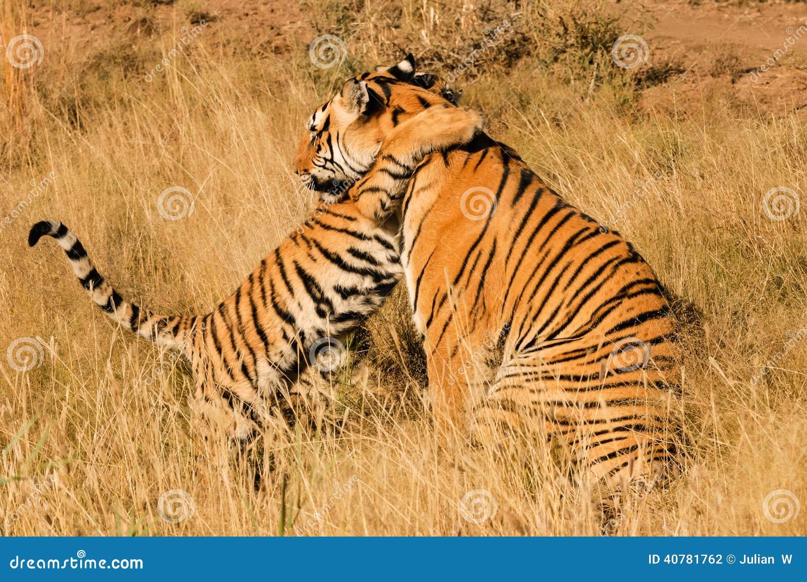 Tiger mit ihrem Jungen