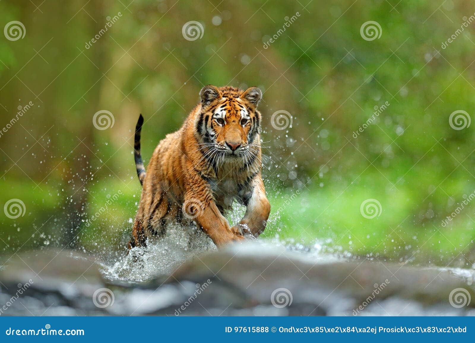 Tiger mit SpritzenFlusswasser Szene der Aktionswild lebenden tiere mit Wildkatze, Naturlebensraum Tiger, der in das Wasser läuft
