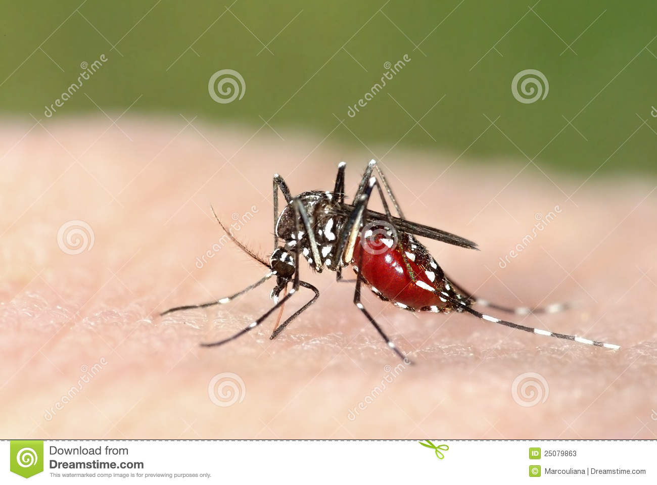 Tiger mosquito meal