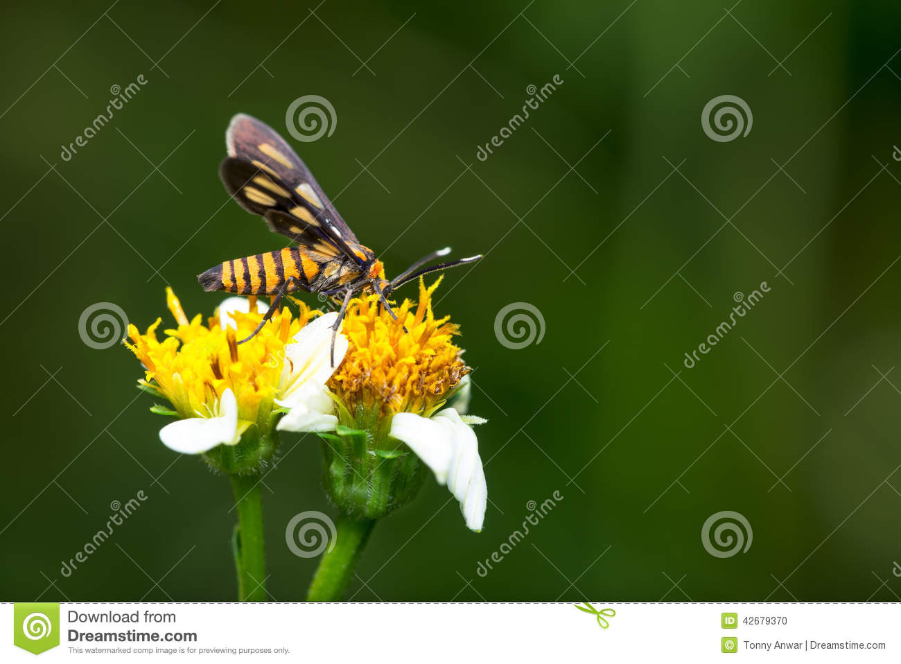 Tiger Moth Pollination