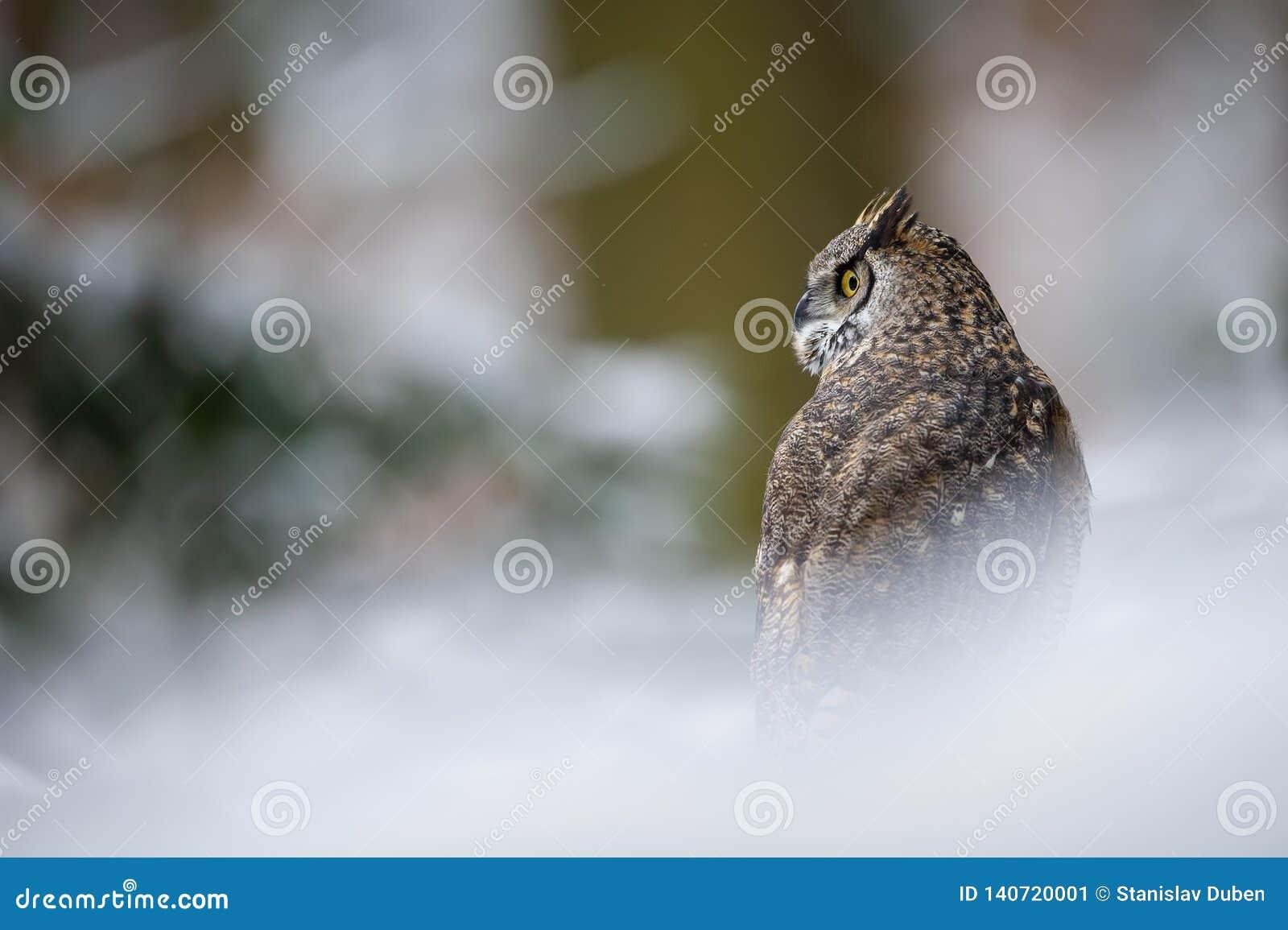 Tiger owl - Great horned owl - Hoot owl