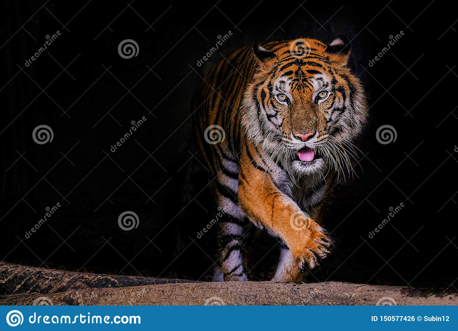 Tiger portrait of a bengal tiger in Thailand on black background