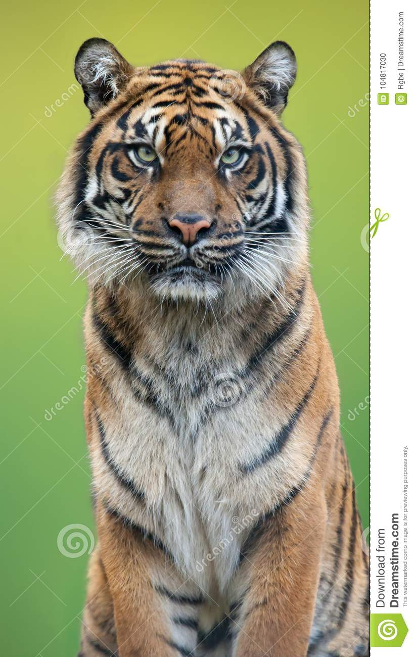 Tiger portrait with a green background