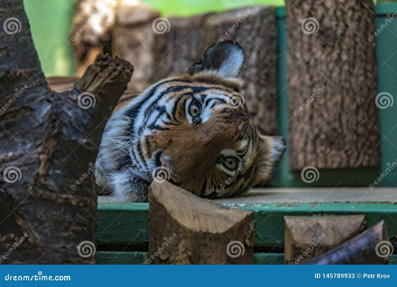 Tiger in Prag-Zoo