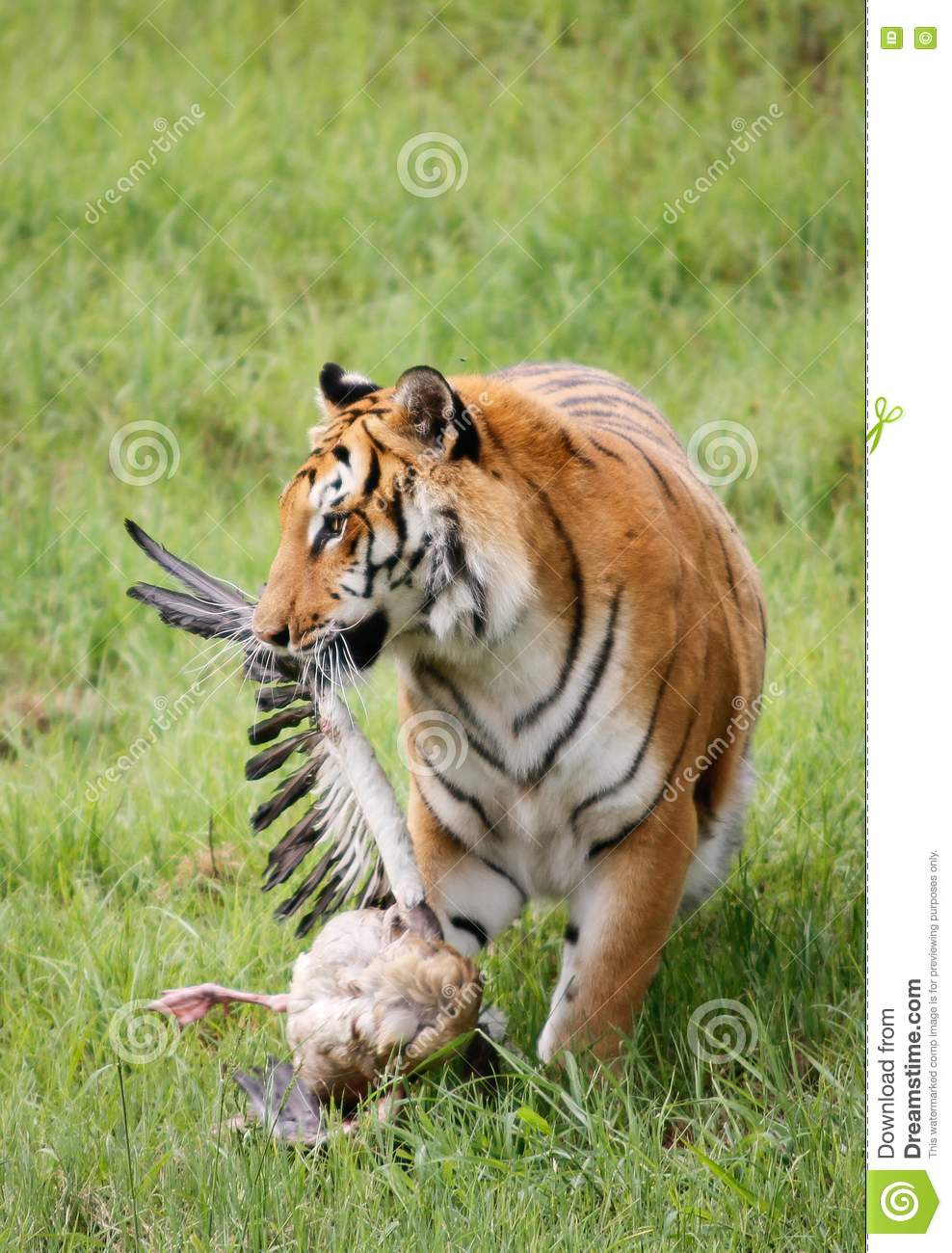 Panthera tigris (Tiger) is the largest of the big Cats, One of the ...