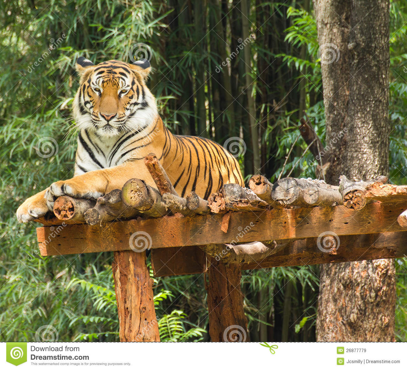 Tiger Relaxing Action In Nature Royalty Free Stock Images ...