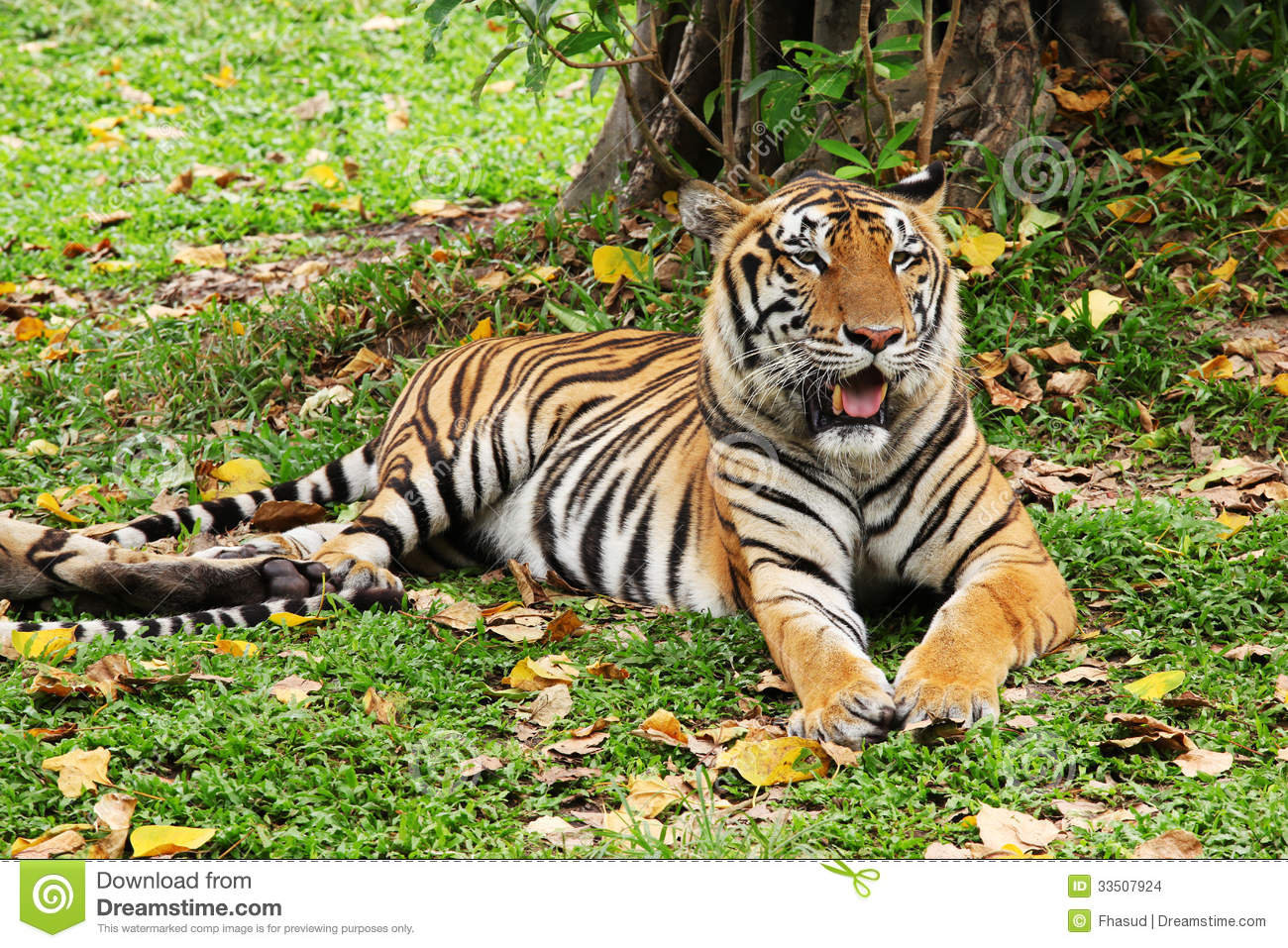 Tiger Relaxing And Laying Down Stock Images - Image: 33507924