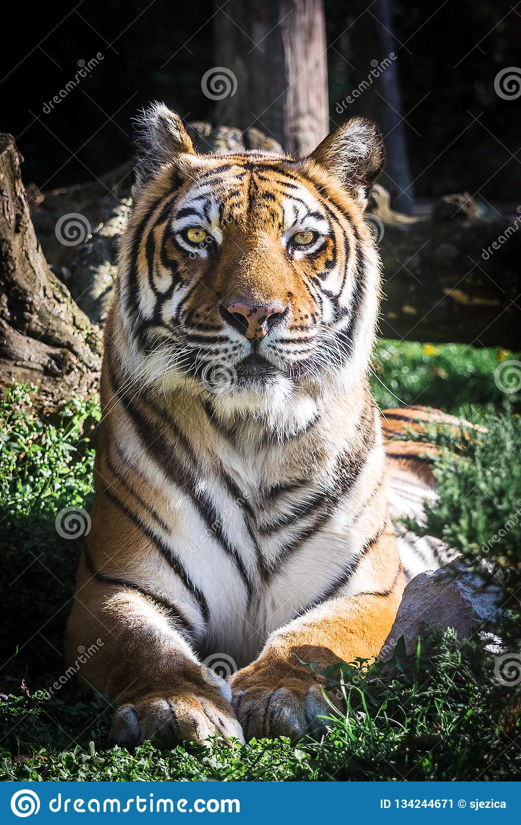 Tiger looking at camera. Portrait. Vertical.