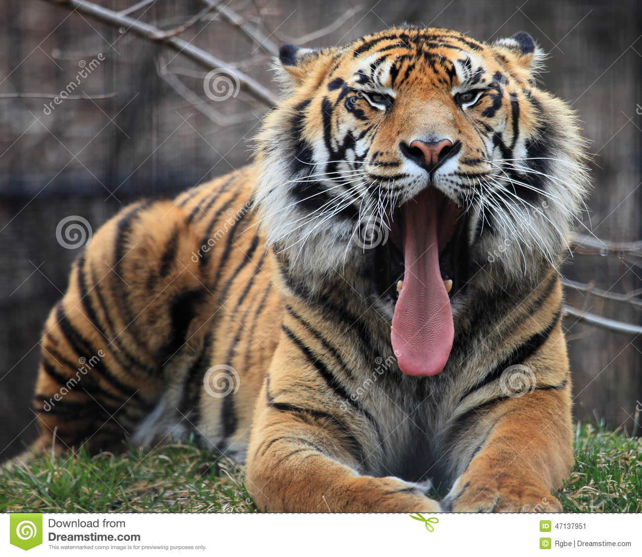 Tiger roar stock image. Image of roar, travel, open ... - photo#36