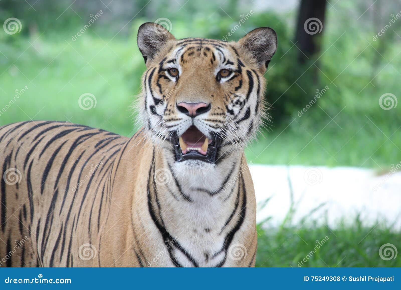 Tiger Royal Bengal