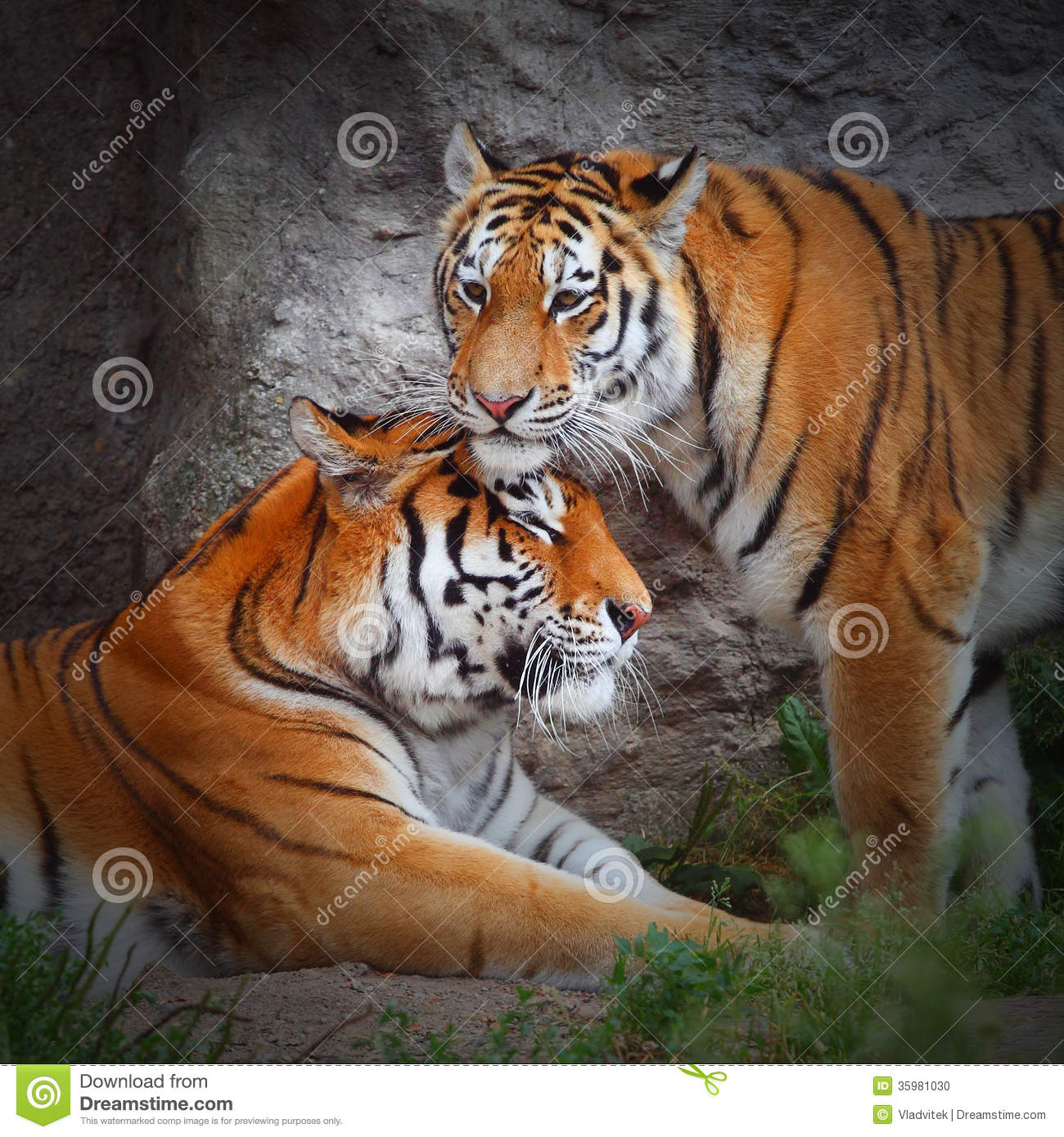 the tigers love stock photo image 35981030