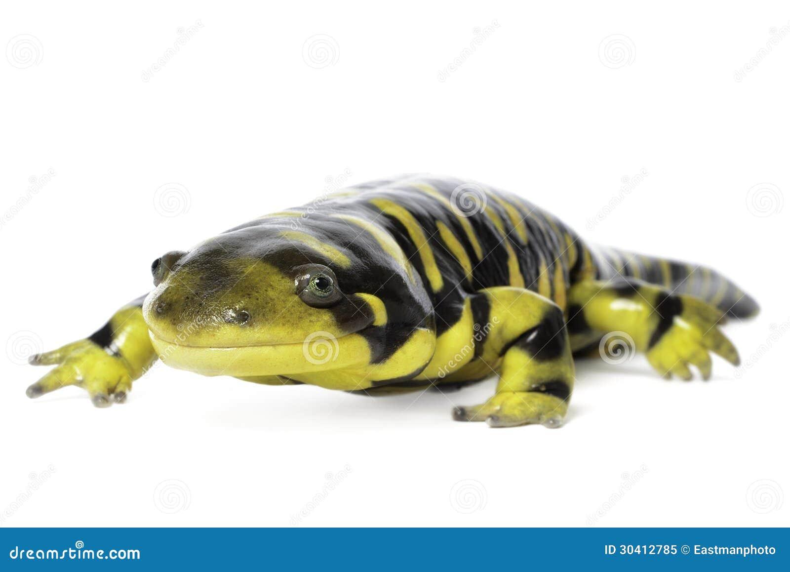 salamander white background - photo #39
