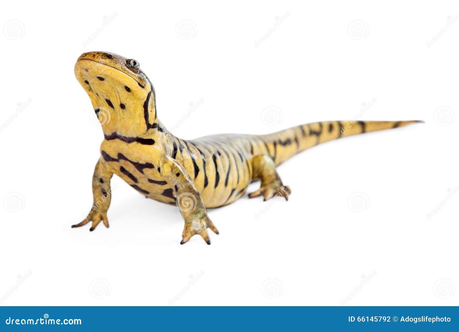 salamander white background - photo #28