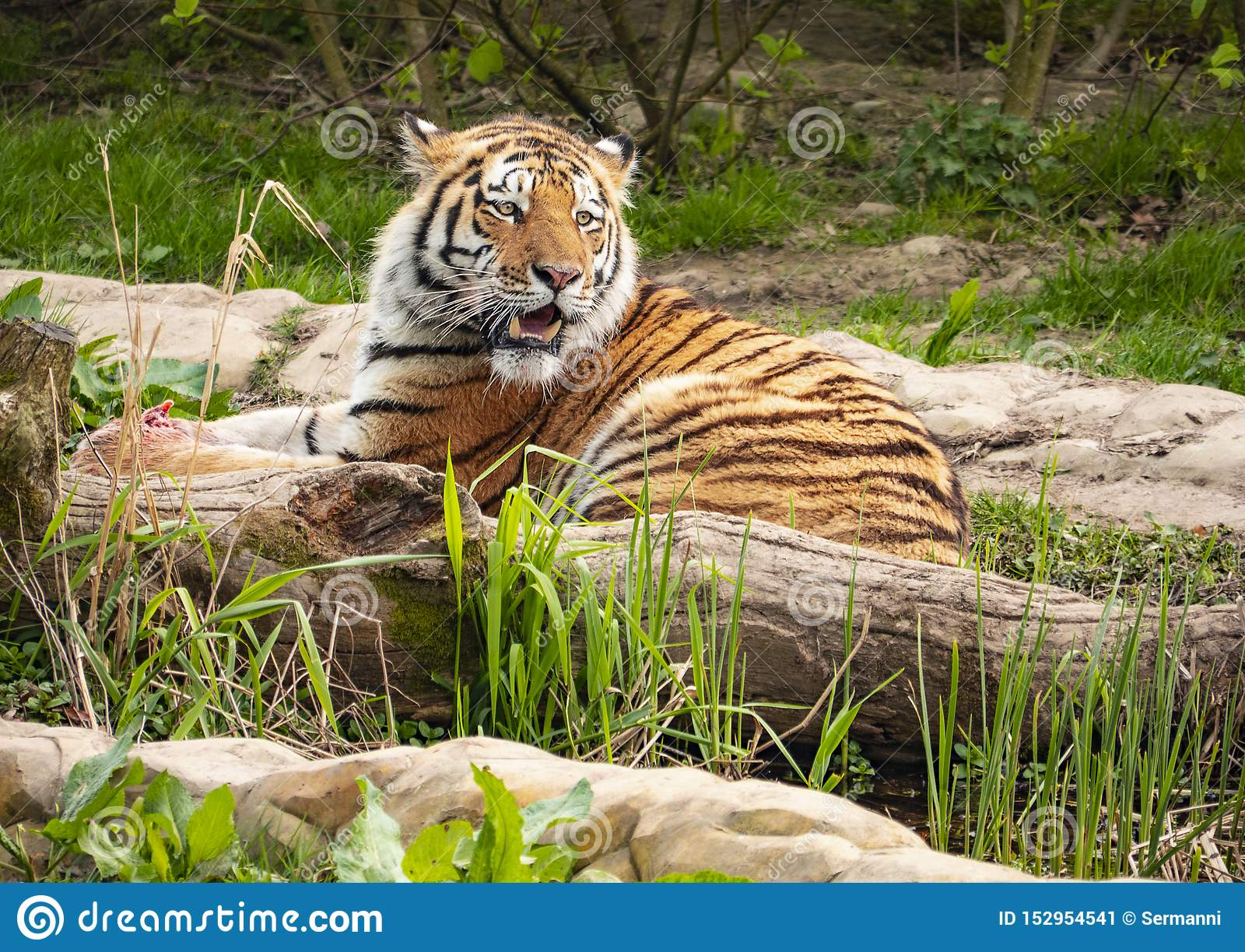 A tiger scans its territory