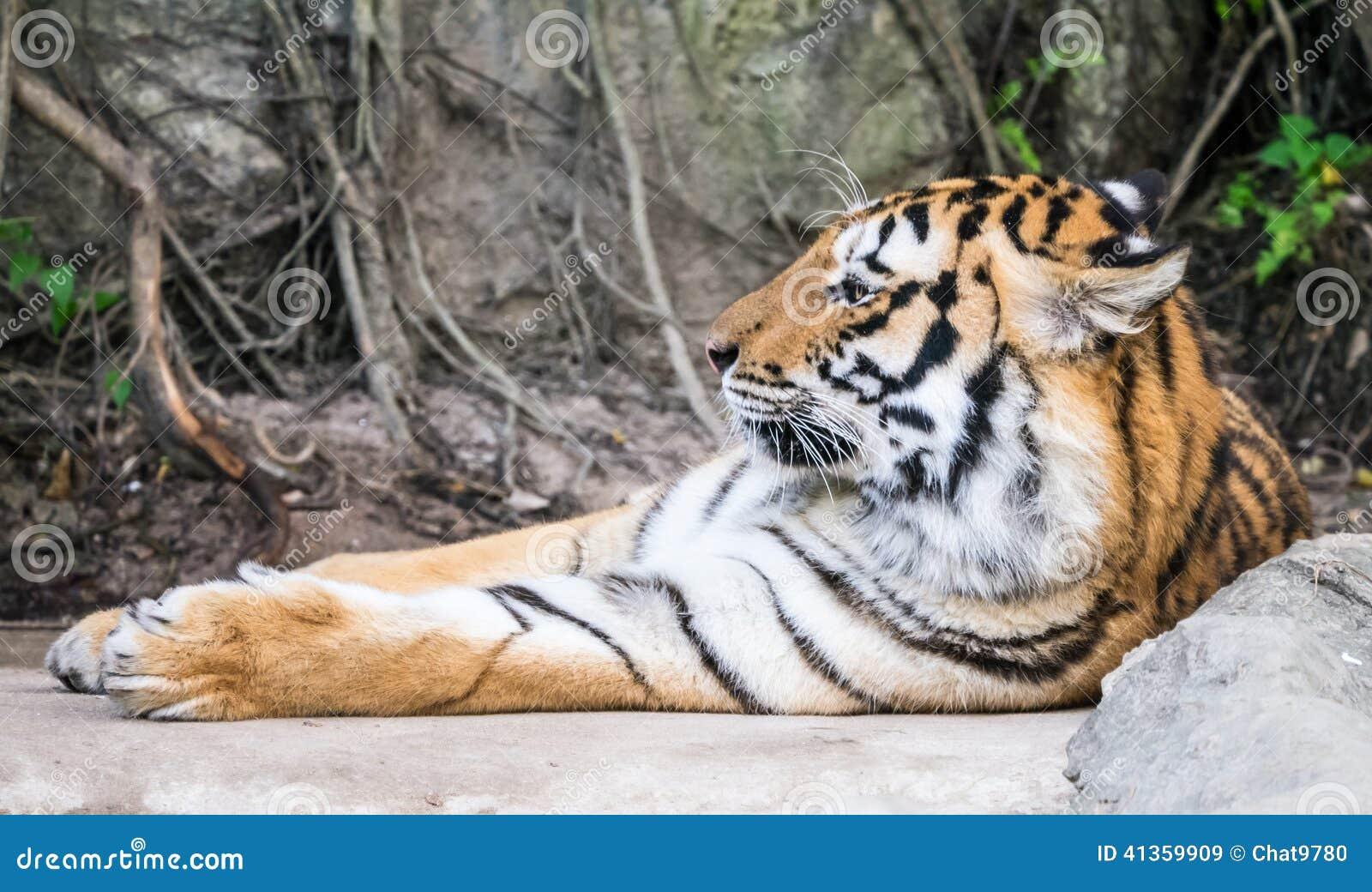 Fotos De Stock Chat9780: Tiger Schlafend Stockbild. Bild Von Katze, Carnivore