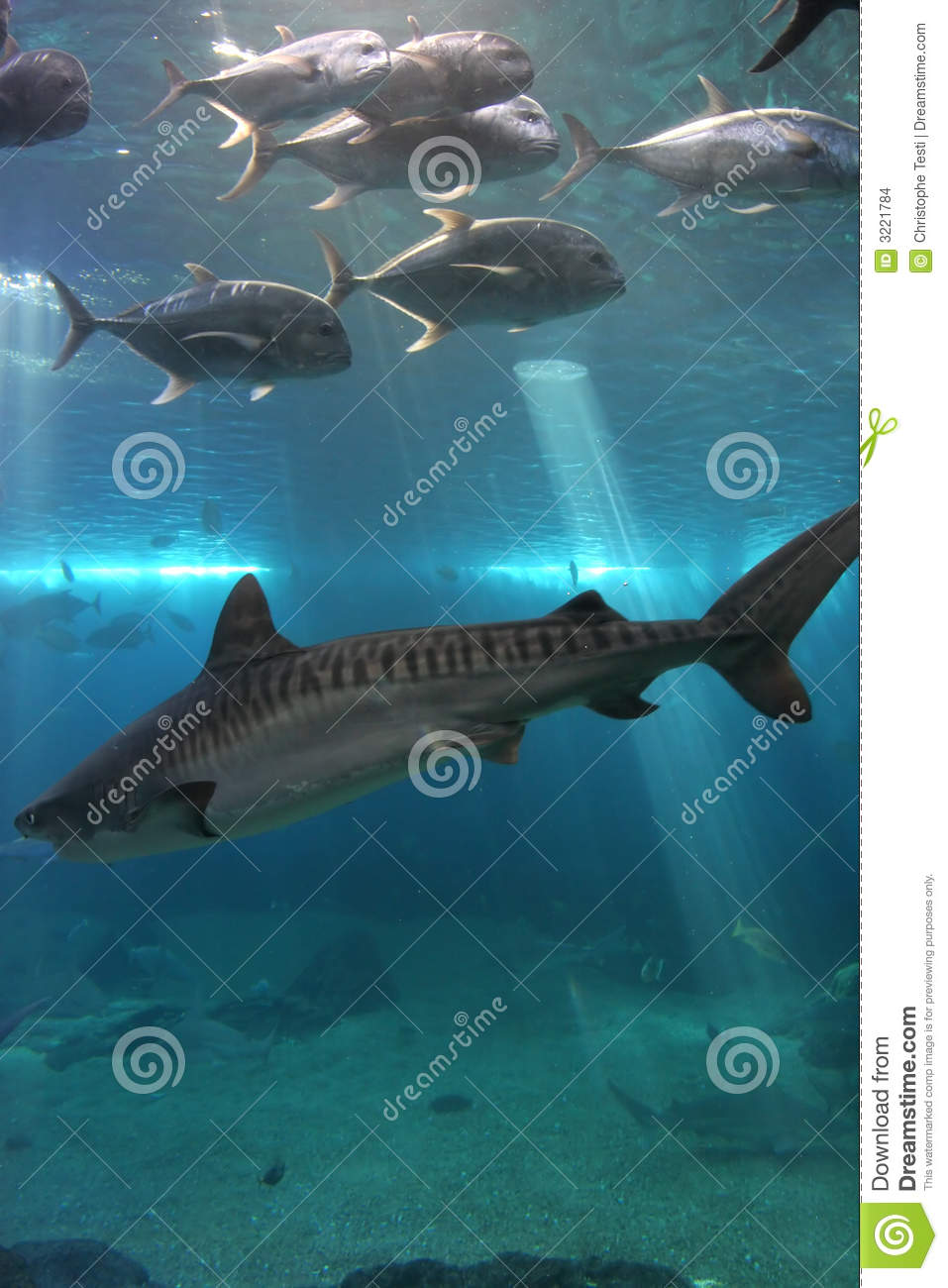 Tiger Shark and Giant Trevelly