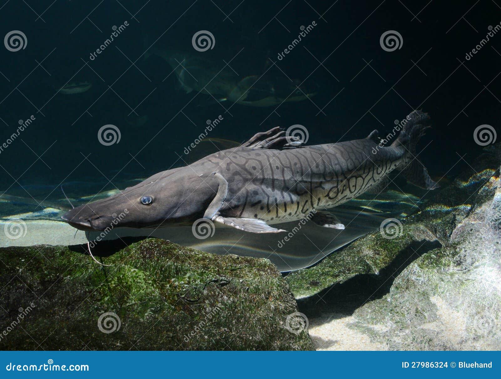 Tiger Shovel-nosed Catfish, Barred Sorubim Stock Images - Image ...