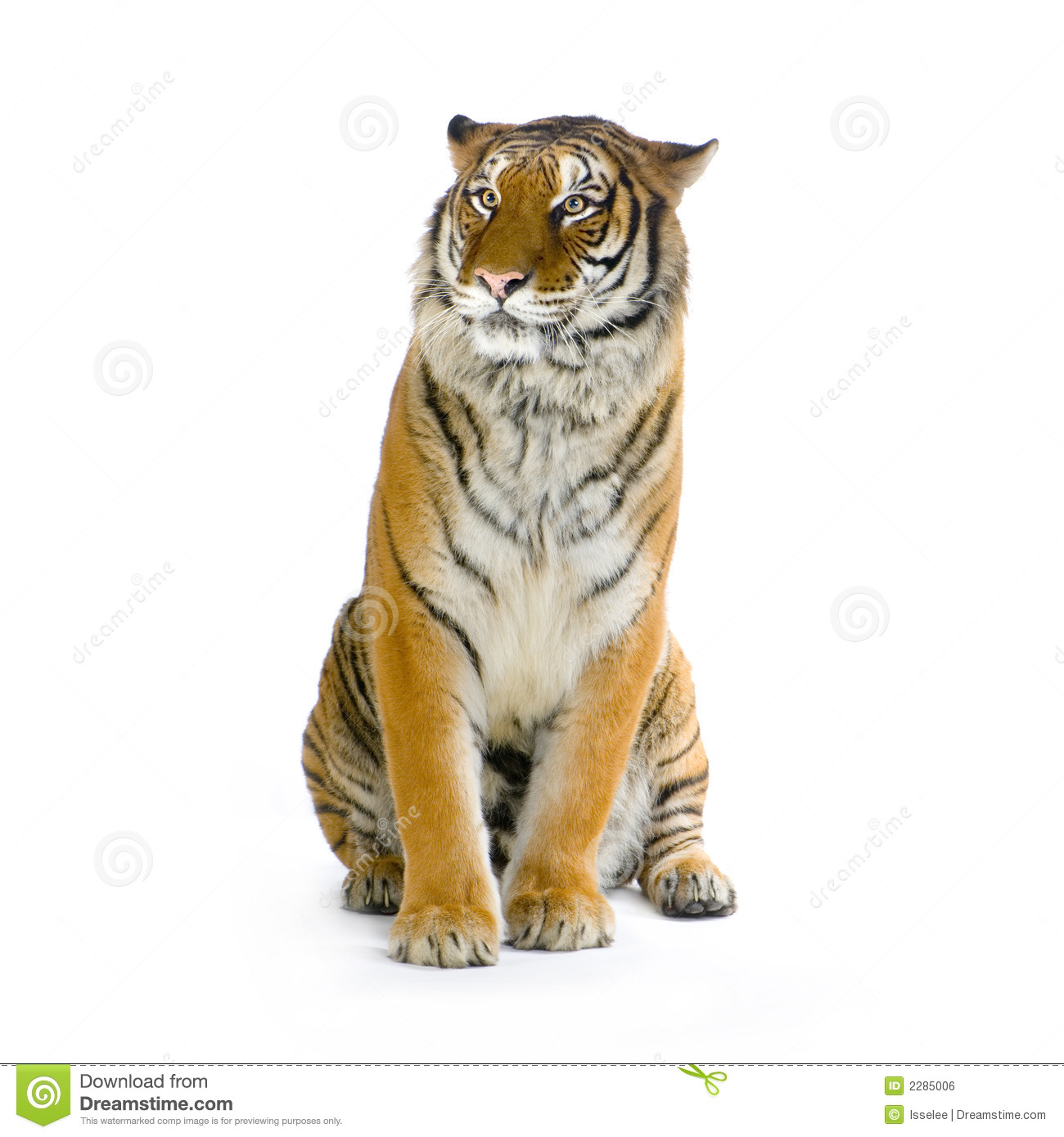 Tiger sitting in front of a white background all my pictures are
