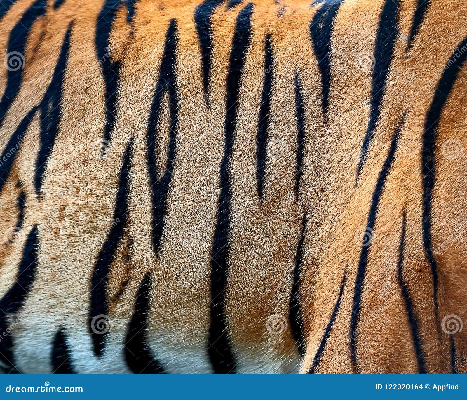 tiger skin texture stock photo image of orange black 122020164