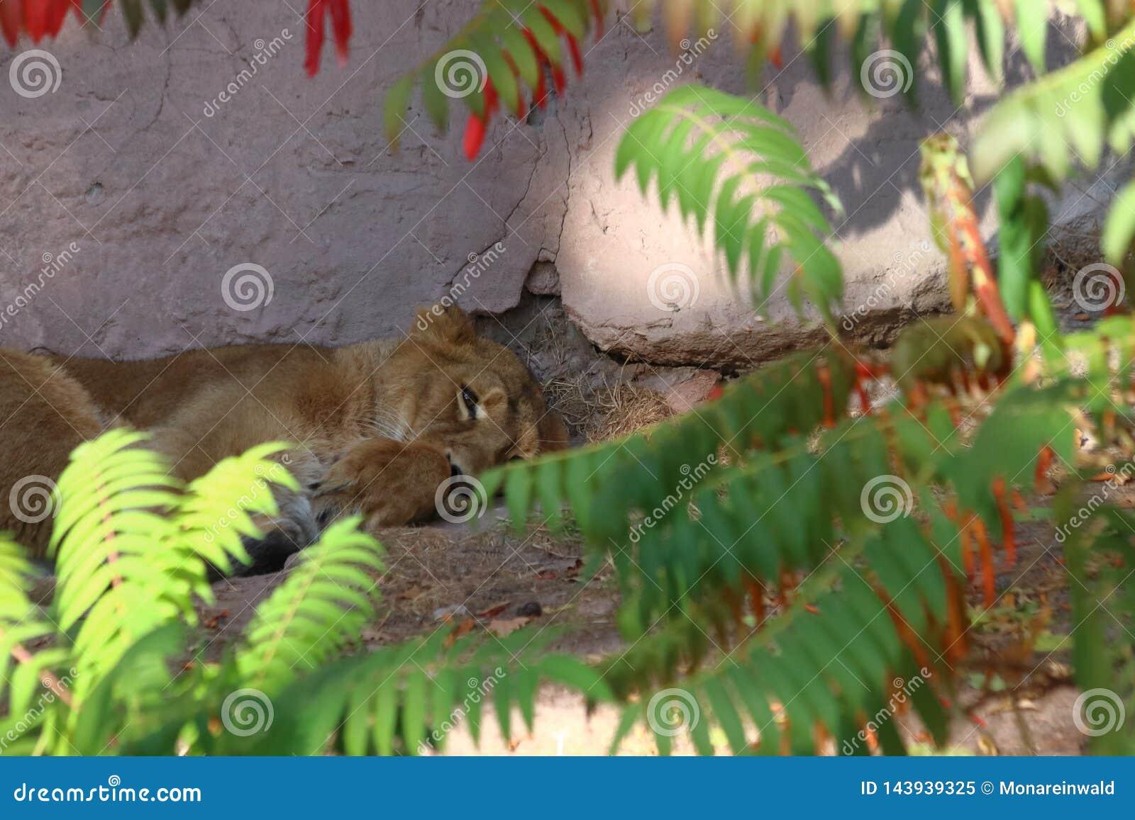 Tiger sleeping in zoo in nuremberg.