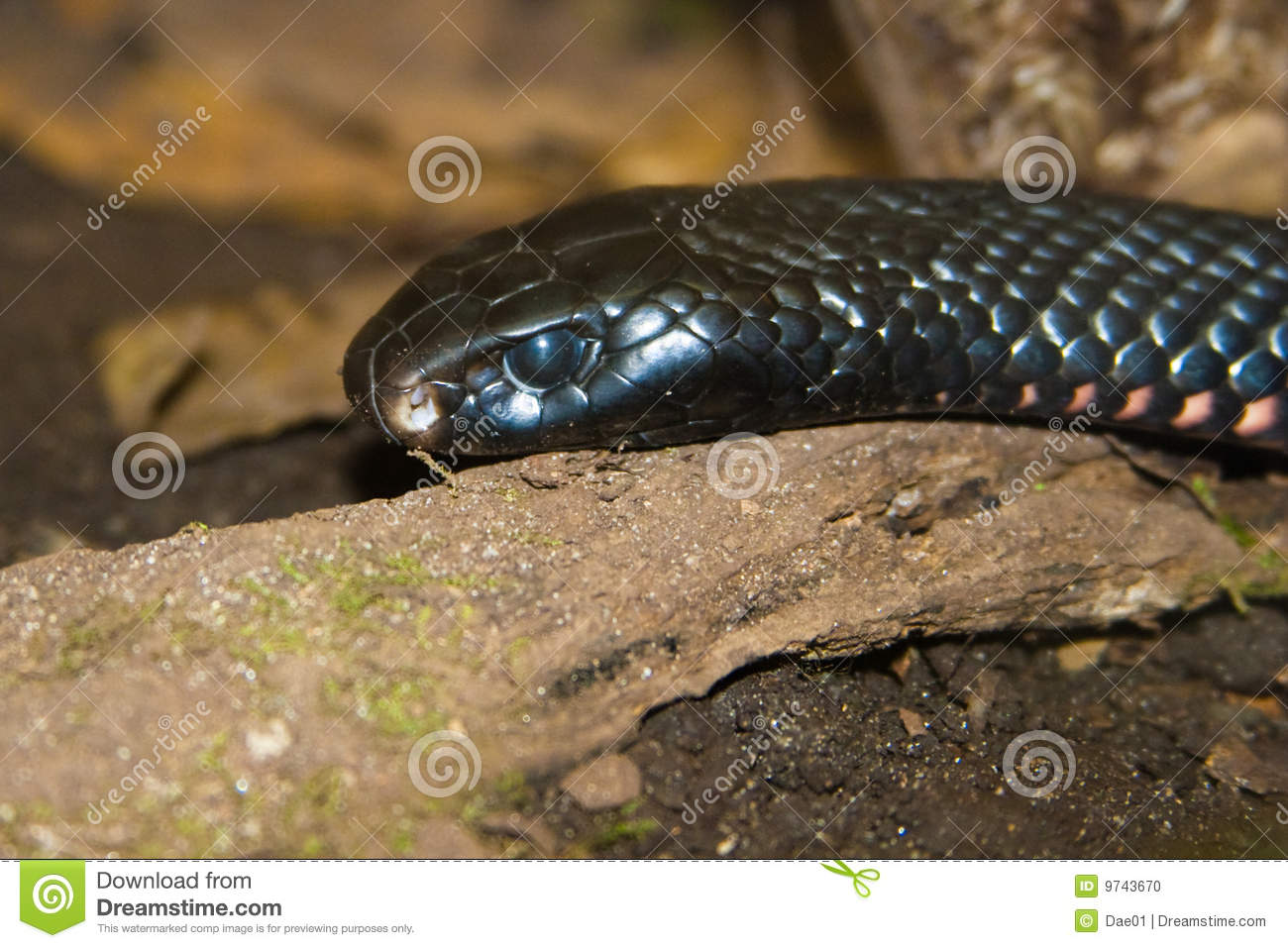 Download Tiger snake stock photo. Image of scutatus, tasmania, aussie - 9743670