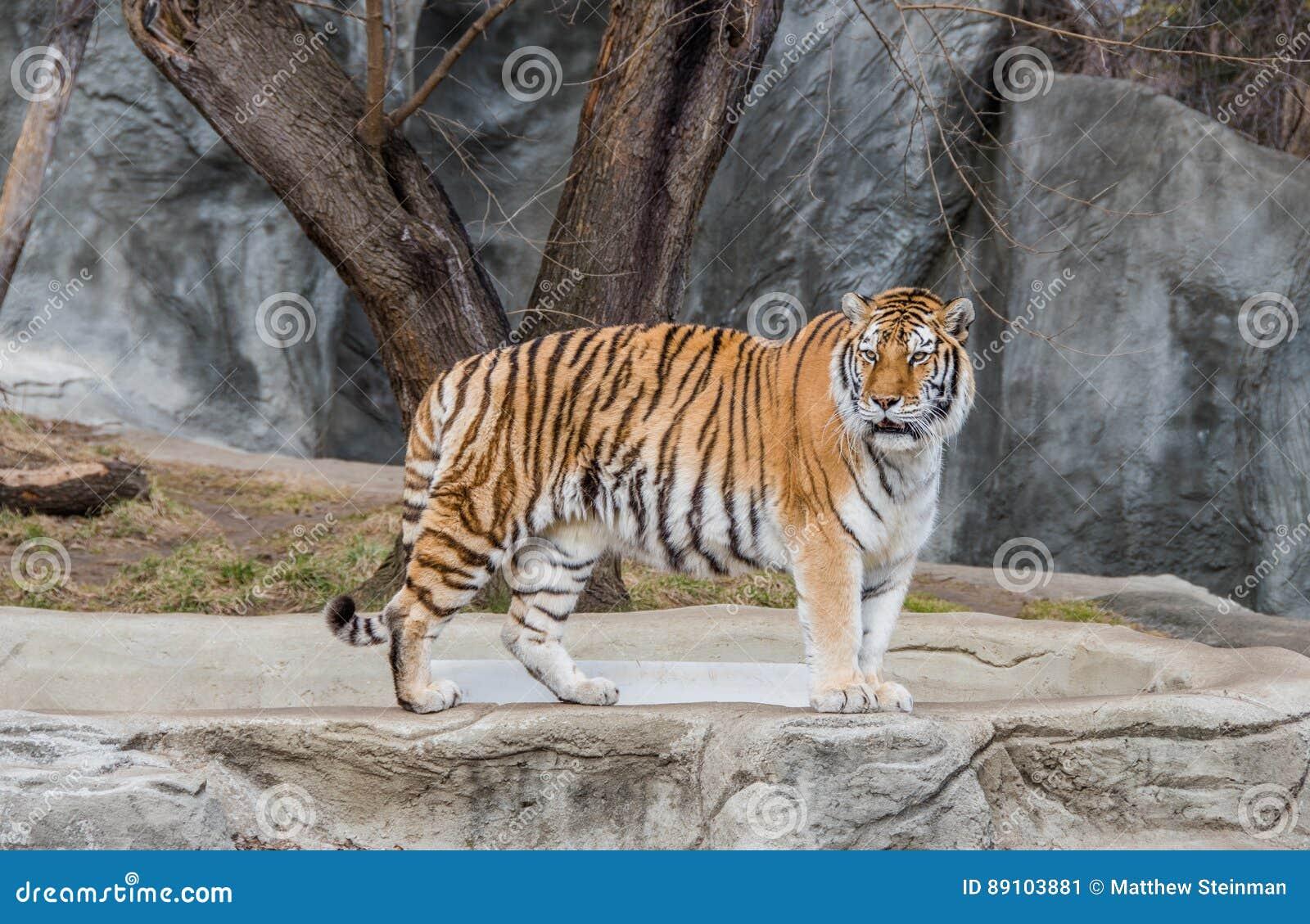 Tiger Standing bij de Dierentuin