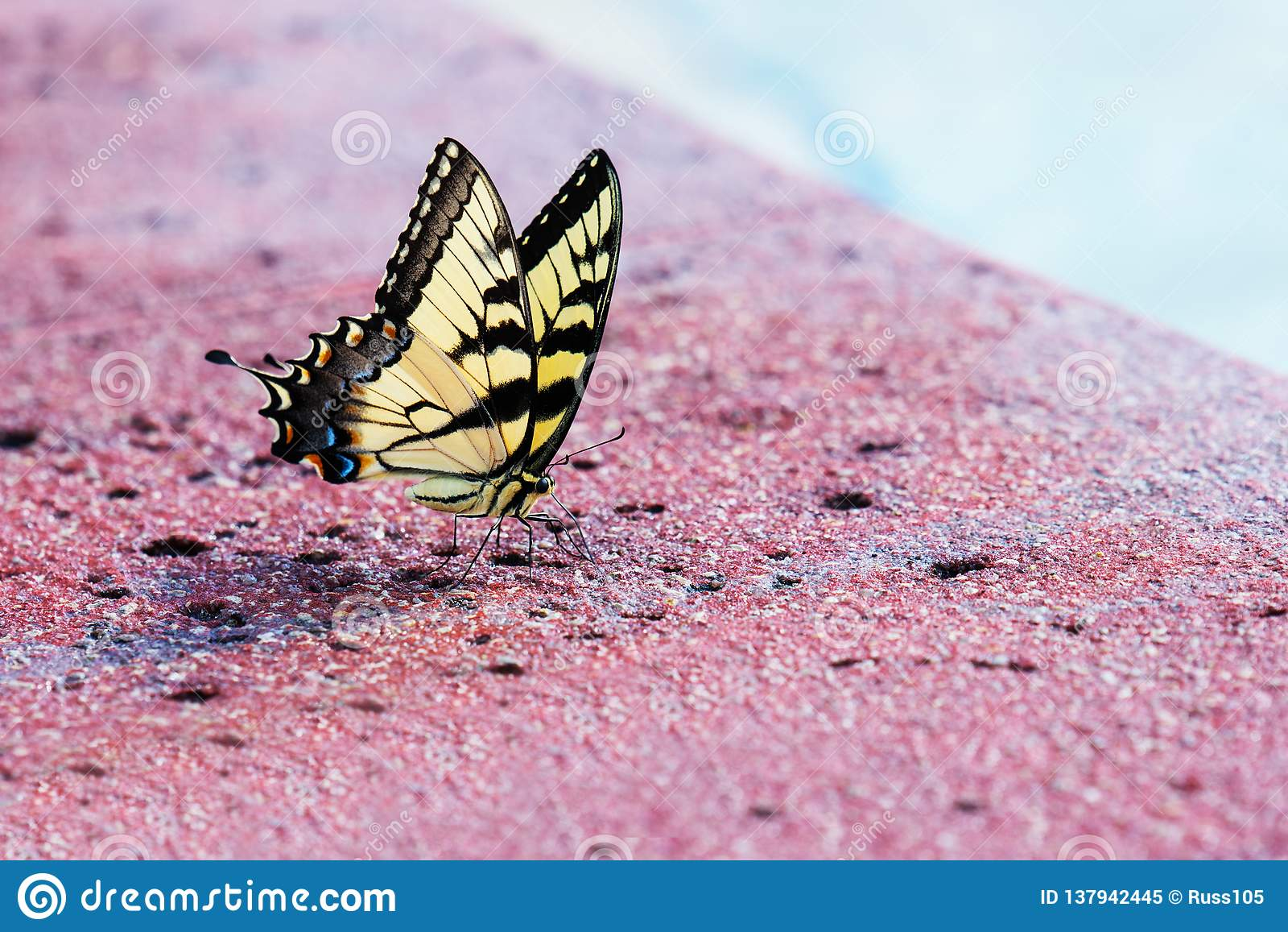Tiger Swallowtail Butterfly oriental