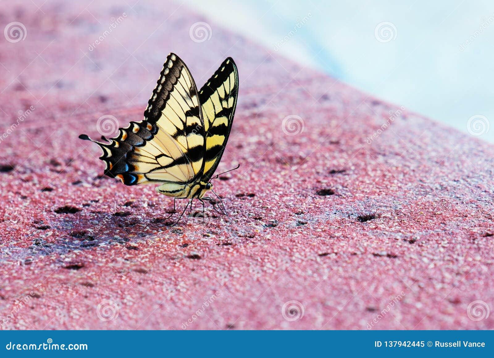 Tiger Swallowtail Butterfly orientale