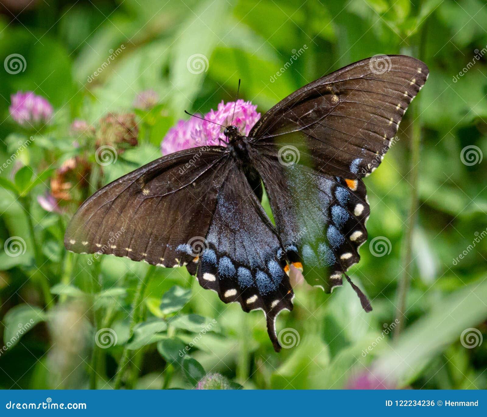 Tiger Swallowtail Macro fêmea, vista dorsal