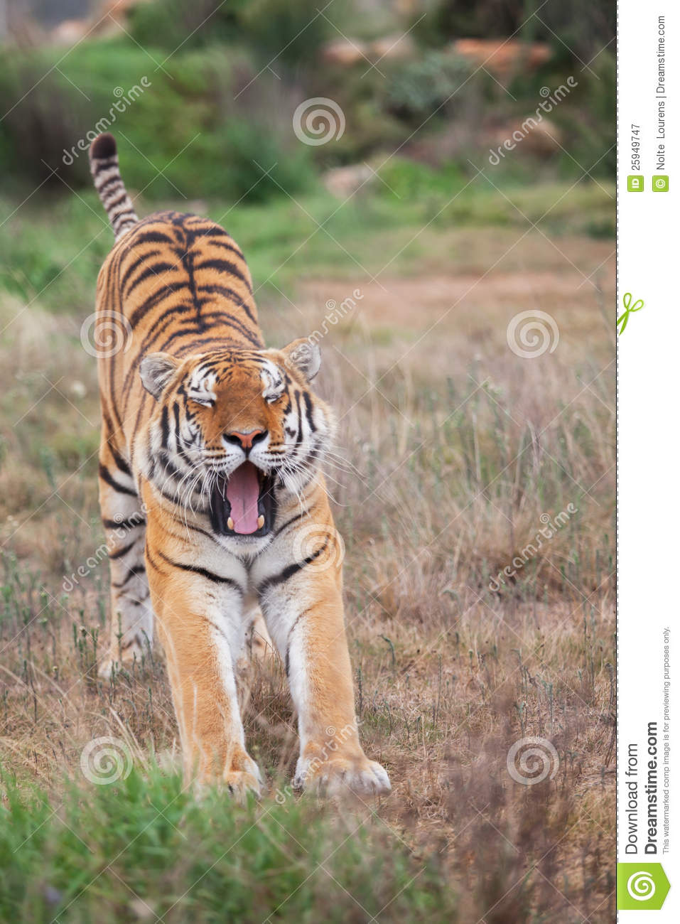 60 best images about Tiger Mutations on Pinterest ... |Bengal Tiger Tired