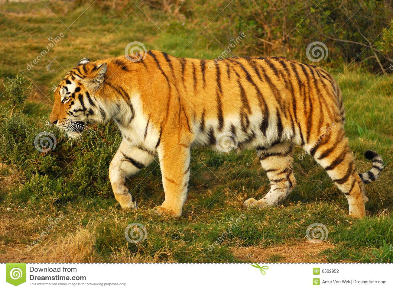 Full body of a beautiful Siberian Tiger walking in the wild.