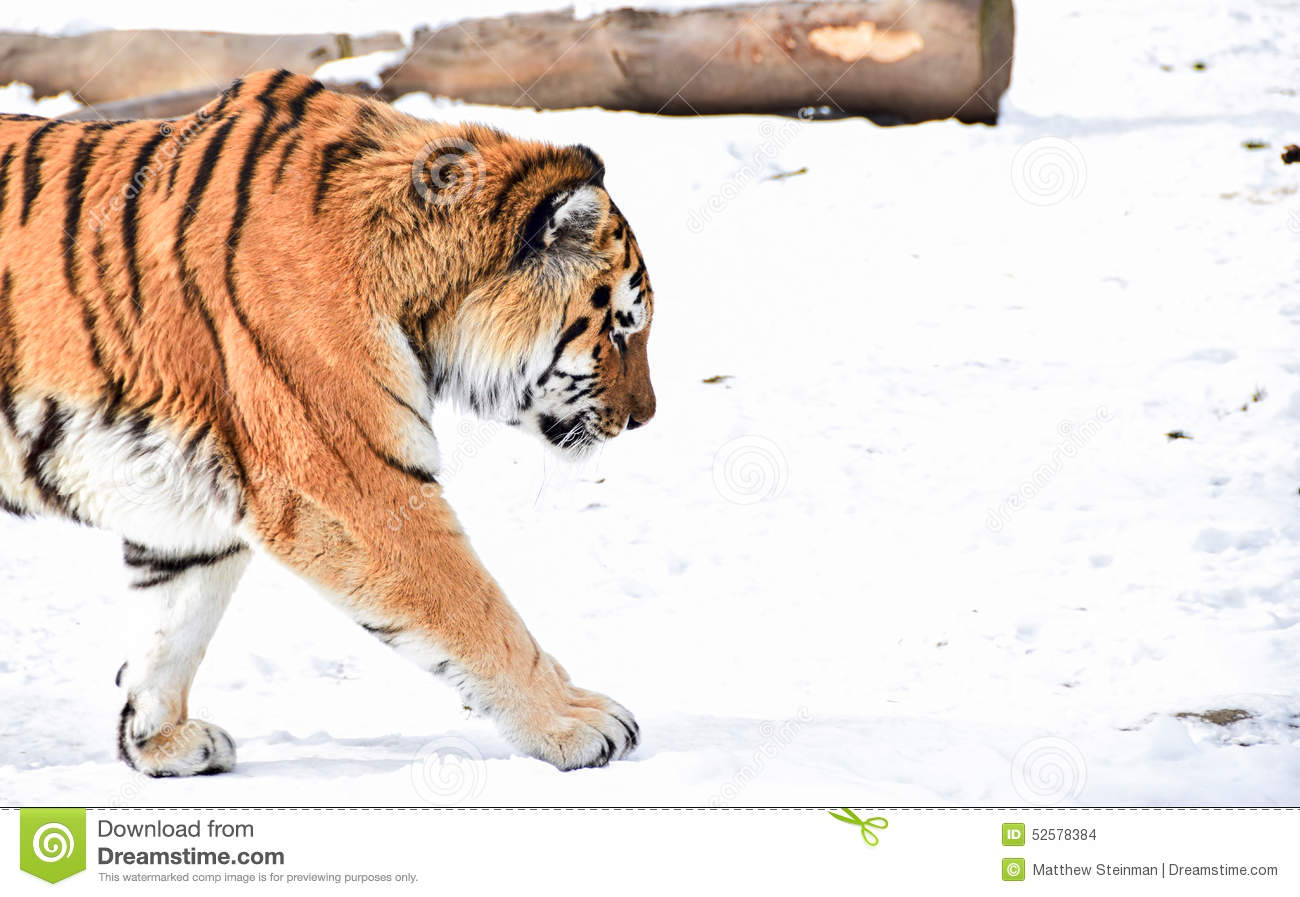 tiger walking in from left stock photo image 52578384