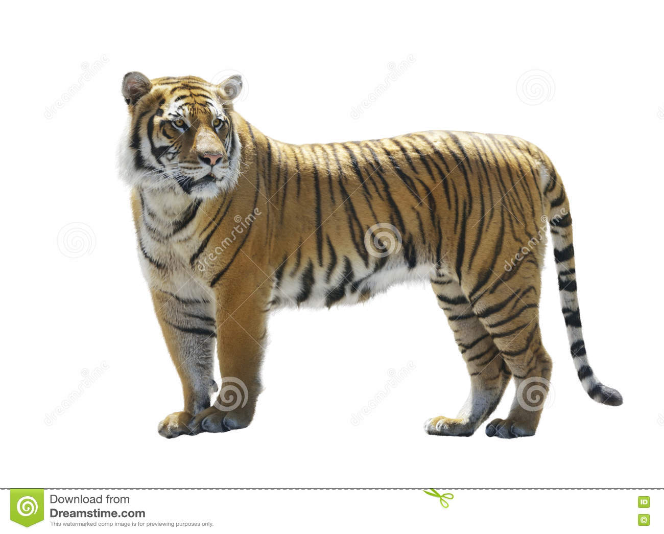 tiger on white background stock photo image of portrait 73110104