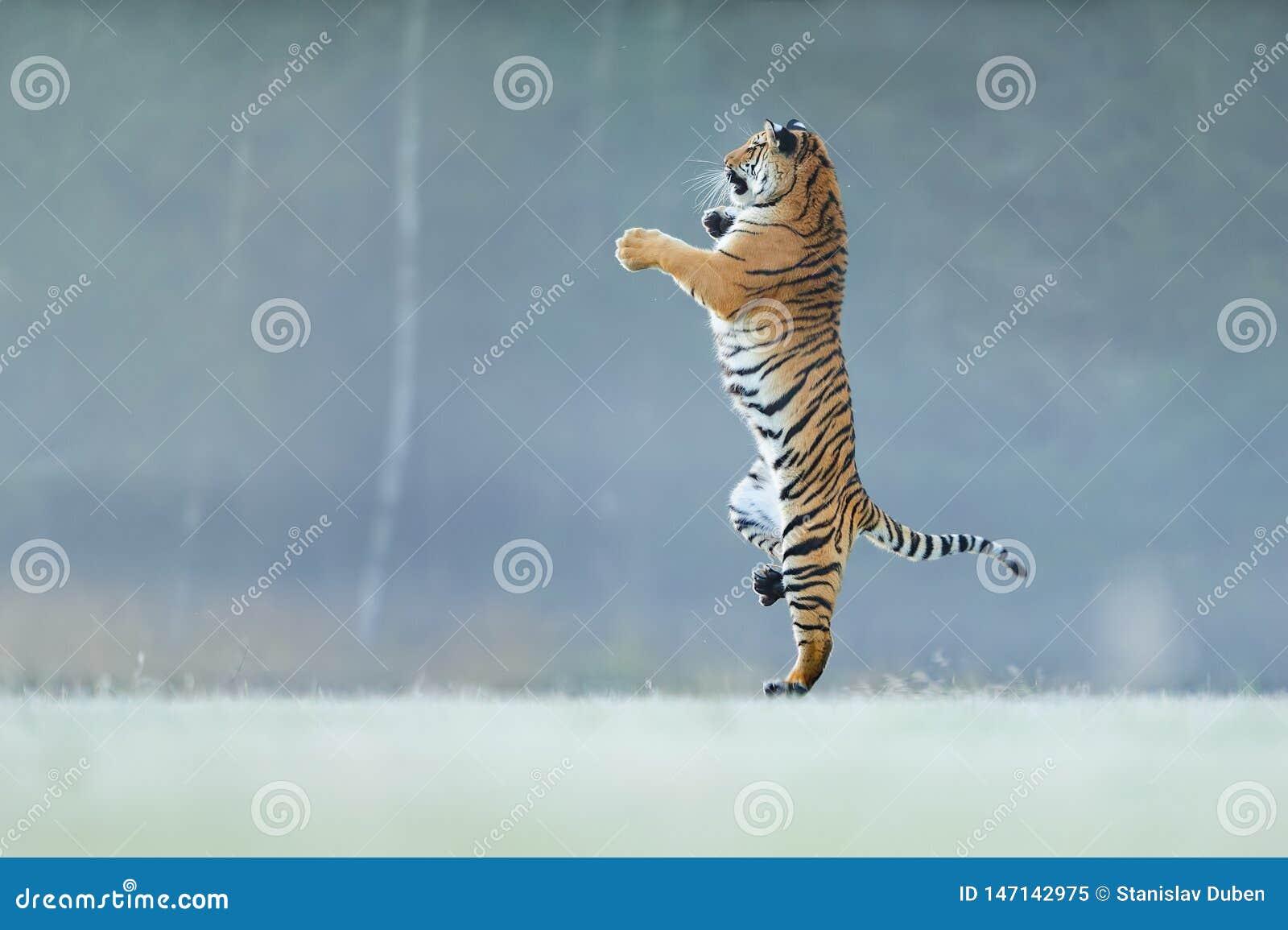 Tigeranseendet på baksida tafsar Inte typicall poserar för stor katt Dansa tigern Amur tiger Panthera Tigris Altaica