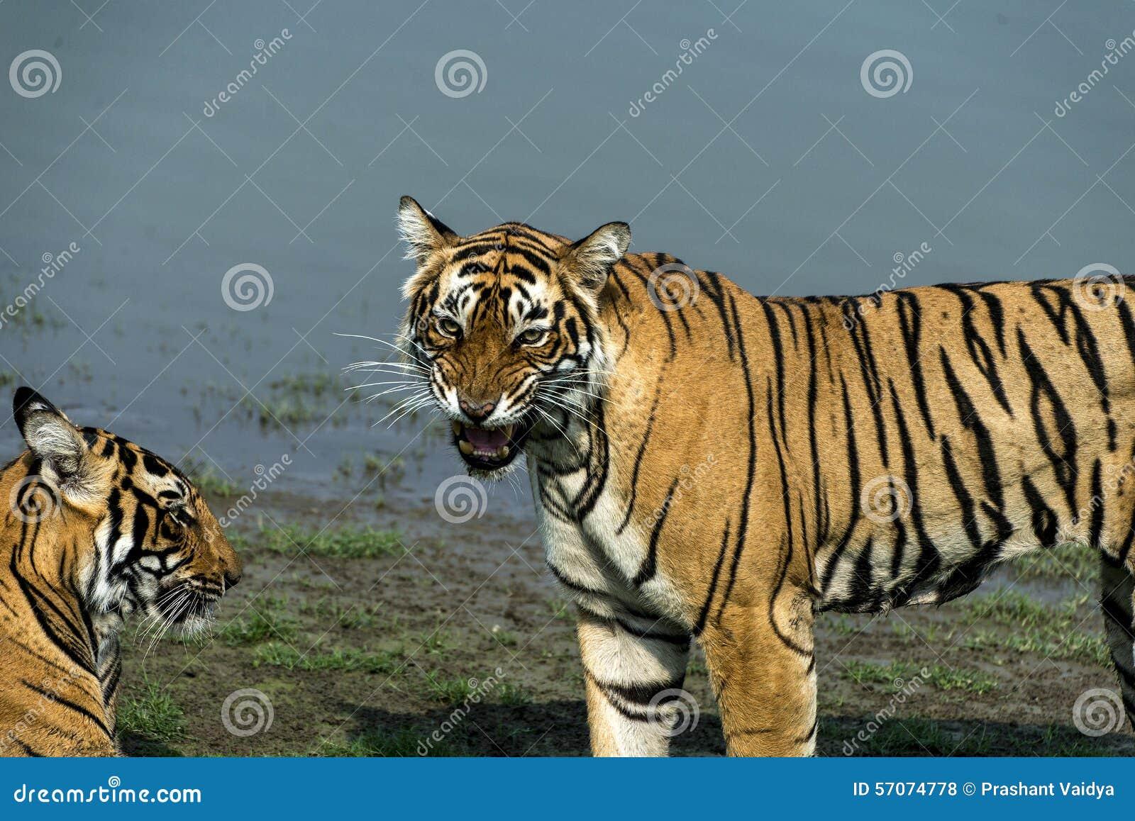 Tigeress Krishna met haar welp
