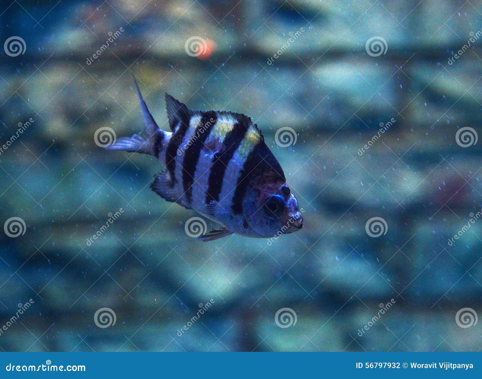 Tigerfish Siamese