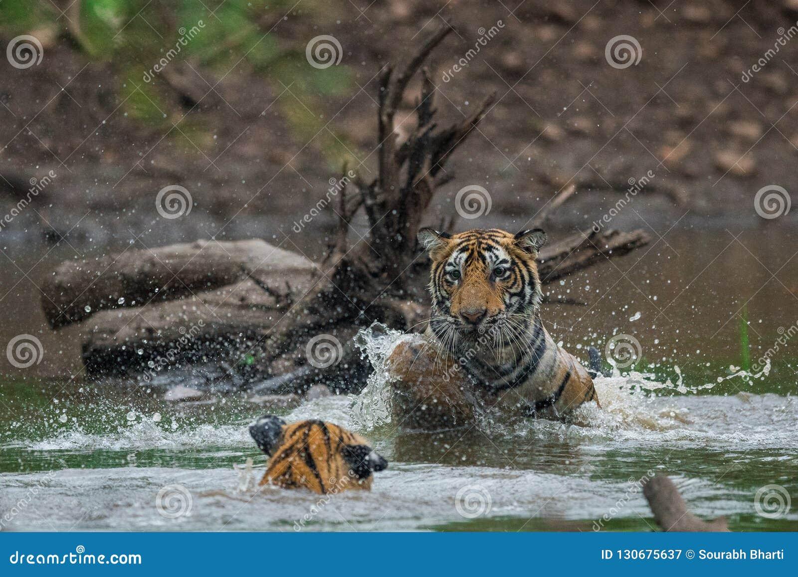 Tigerjunge, die im Wasser mit Spritzen k?mpfen und spielen