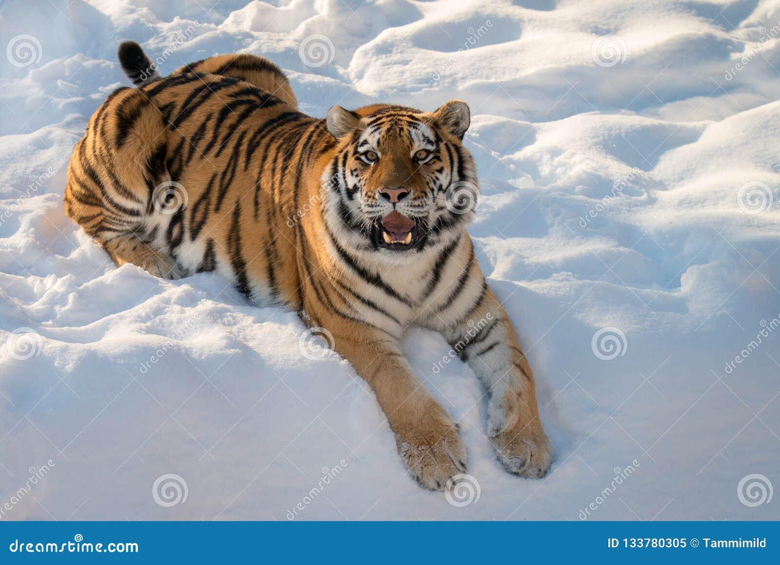 Tigerkatt i snö