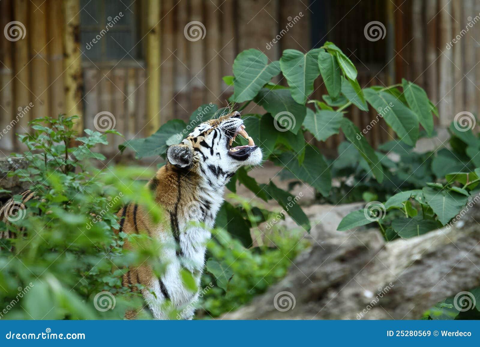 Tigerknurren