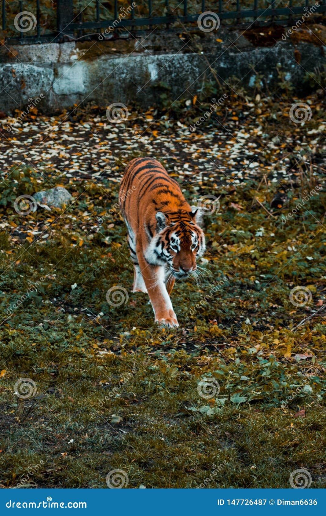 Tigern går på gräset wild djur