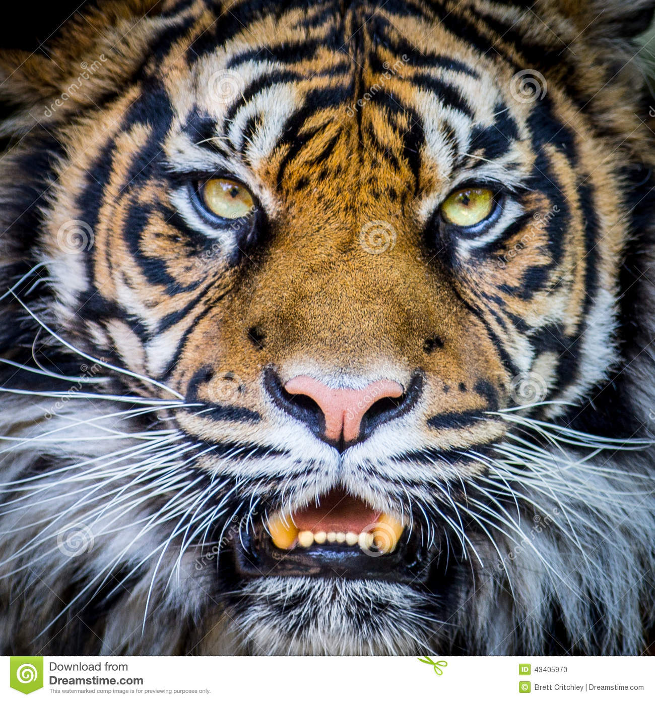 tigers face stock photo image of stripes wild portrait 43405970